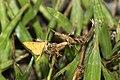 Endocrossis caldusalis (36917270704).jpg