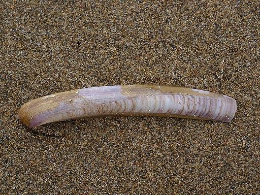 Schwertmuschel (Schwertförmige Schiedenmuschel), Ensis ensis (Baix Ebre)