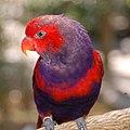 Eos squamata -captive-8a-2c.jpg