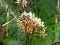 Epidendrum radicans - Flickr - Alejandro Bayer (1).jpg