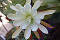 Epiphyllum crenatum Chichicastenango (4714573168).jpg