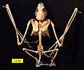 Eptesicus fuscus skeleton.jpg