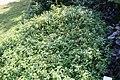 Eranthemum nigrum 13zz.jpg
