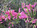 Erica abietina ssp. atrorosea.jpg