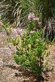 Erica verticillata (5233848412).jpg