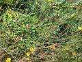 Eriogonum grande rubescens (14477643468).jpg