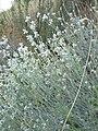 Eriogonum niveum 3.jpg