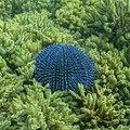Erizo de mar violáceo (Sphaerechinus granularis), Parque natural de la Arrábida, Portugal, 2020-07-31, DD 85.jpg