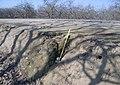 Erosion on Kings River levee (9631198558).jpg