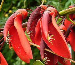 Erythrina crista-galli 05 ies.jpg