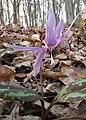 Erythronium dens-canis in national natural monument Mednik (05).jpg