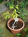 Erythroxylum coca - Orto botanico - Rome, Italy - DSC00154.jpg
