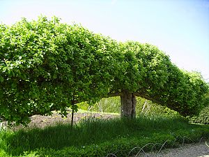 Espalier - Free-standing espaliered fruit trees (step-over) at Standen, West Sussex, England, May 2006. As can be seen, the trees are used to create a fruit border or low hedge.