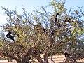 Essaouira Arganier 1063.JPG