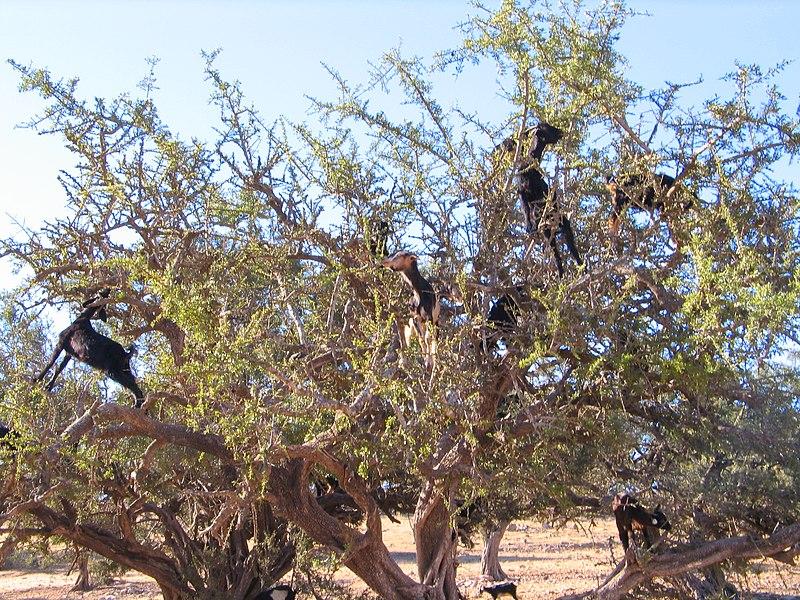 http://upload.wikimedia.org/wikipedia/commons/thumb/3/3e/Essaouira_Arganier_1063.JPG/800px-Essaouira_Arganier_1063.JPG