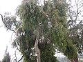 Eucalyptus - യൂക്കാലിപ്റ്റസ് 05.jpg