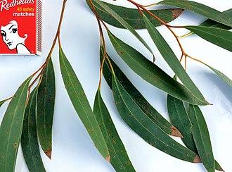 Eucalyptus diversifolia - Image: Eucalyptus diversifolia adult leaves