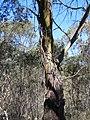 Eucalyptus sp. (37788037146).jpg