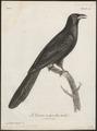 Eudynamys horonata - 1796-1808 - Print - Iconographia Zoologica - Special Collections University of Amsterdam - UBA01 IZ18800303.tif