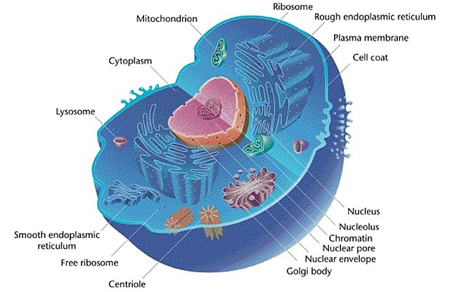 Gallery Eukaryotic Animal Cell Microscope