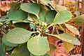 Euphorbia capmanambatoensis IMG 2376.jpg