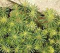 Euphorbia cyparassias cv Fens Ruby ies.jpg