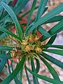 Euphorbia didiereoides 002.JPG
