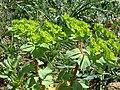 Euphorbia helioscopia cc.JPG