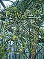 Euphorbia leucodendron BotGardBln07122011E.JPG