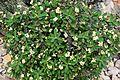 Euphorbia milii f. lurea in Tropengewächshäuser des Botanischen Gartens 03.jpg