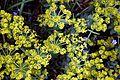 Euphorbia myrsinites at RHS Garden Hyde Hall, Essex, England.jpg
