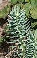 Euphorbia rigida in Jardin des 5 sens (1).jpg