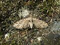 Eupithecia exiguata1.jpg
