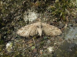 Mottled pug - Image: Eupithecia exiguata 1