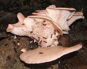 Arbeiterinnen von Euprenolepis procera an einem Pilz