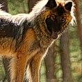 Eurasier dog - Flickr - Stiller Beobachter.jpg