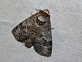 European Goat Moth (Cossus cossus) (8333257350).jpg
