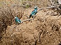 European Rollers (Coracias garrulus) couple (35663693222).jpg