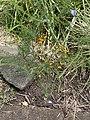 Eutaxia microphylla habit.jpg