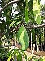 Exotic Fruit Plants India 2z .jpg