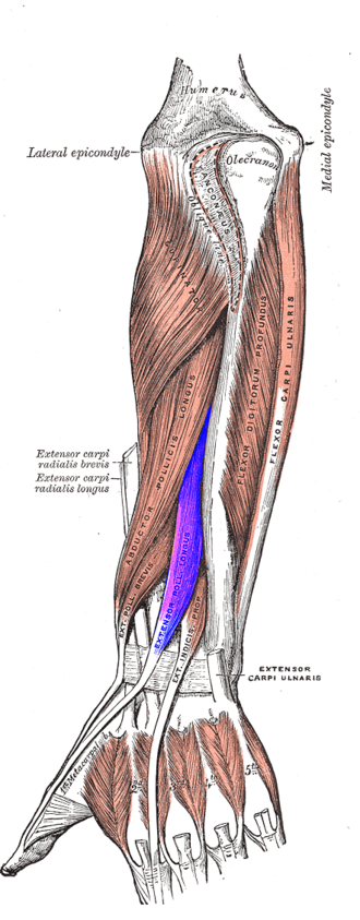 Extensor pollicis longus muscle - Posterior surface of the forearm. Deep muscles. Extensor pollicis longus muscle is labeled in purple.