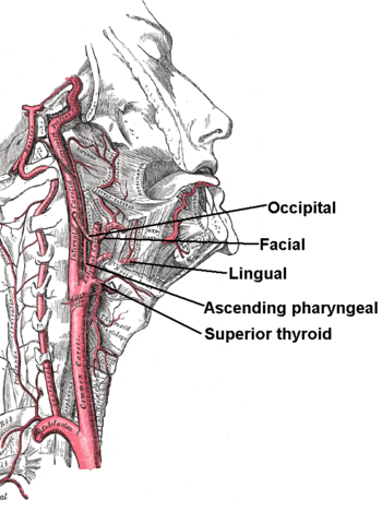 English: The internal carotid and vertebral ar...