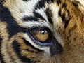 Eye of the Tiger (3293890239).jpg