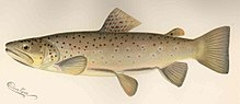 FMIB 43029 Brown Trout (Salmo fario) This is the common brook trout of Europe, and it has been named Von Behr Trout by the United States.jpeg