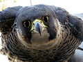 Falco peregrinus -outside a high window on building-8.jpg