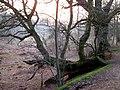 Fallen tree, Rendlesham forest - geograph.org.uk - 1229543.jpg