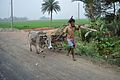 Farmer with Oxen - Indian National Highway 34 - Birohi - Nadia 2013-03-23 6941.JPG
