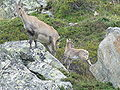 Female Alpine Ibex with kid.jpg