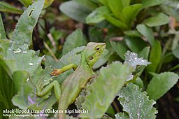Female Black-lipped Lizard