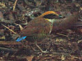 Female Gurney's Pitta, January 2010.jpg
